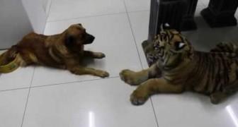 La tigre che viene spaventata da un cane, in casa è lui che comanda!