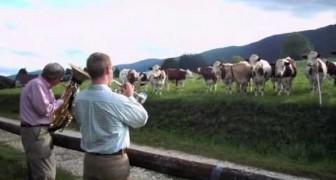 L'insolita reazione delle mucche davanti ad un concerto di musica jazz
