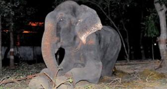 Der Elefant Raju weint bei seiner Befreiung aus den Händen von Tierquälern