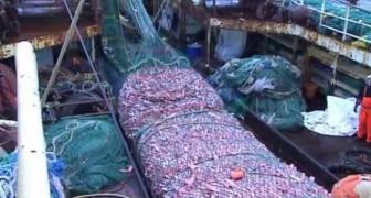 Eine reiche, aber auch beängstigende Ausbeute dieses Fischerboots vor der Küste Islands