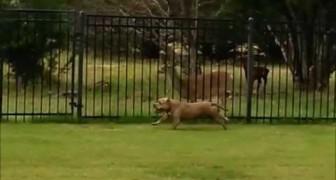 Un Pit bull e un cervo fanno a gara di velocità