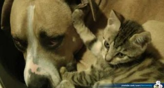 Questa è l'unica lotta tra un gatto e un pit bull che vogliamo vedere