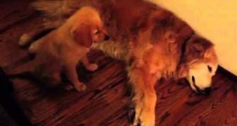 Ein Welpe sorgt sich um seinen älteren Freund, der wohl gerade schlecht träumt