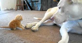 So reagiert dieser große Pitbull auf die Annäherungsversuche eines winzigen Kätzchens