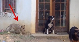 Anyone would react like this in finding a lion sneaking from behind, even if it's just a cub!