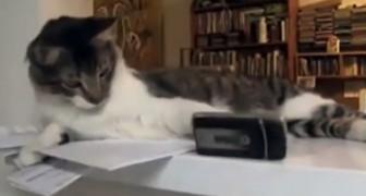 C'est une manie des chats parfois un peu irritante mais dans cette vidéo, ça fait mourir de rire