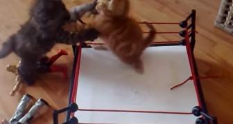 Boxe felino, será que daqui a pouco vai ter também o MMA?
