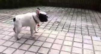 Um filhote de Bulldog descobre a chuva: a sua reação é sensacional!