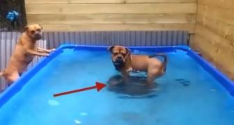 Zwei Hunde holen sich ihr Spielzeug in Teamarbeit zurück