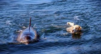Un delfin va seguido a nadar en este pequeño puerto por un motivo