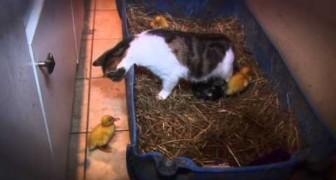 Ces canards pouvaient être en danger mais regardez ce qui se passe plutôt :-)