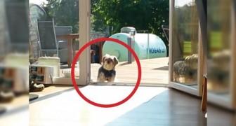 Als je snapt waarom de hond het huis niet betreed, lach je, je dood!