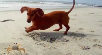 A dachshund is in the mood to play, but his friend doesn't really like the idea !