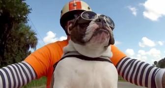 Das ist ohne Zweifel die coolste Bulldogge, die es gibt