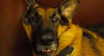 La cara de este perro adormentado es estupenda, pero a los pocos segundos los conquistara del todo