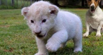 Este pequeno leão branco finalmente achou pais muito especiais