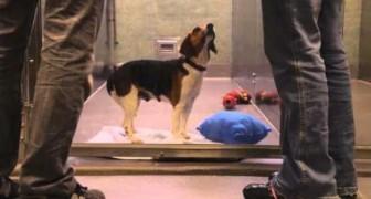 Deze spannende video zal u het belang van adoptie van honden uit kennels tonen