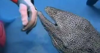 Quien piensa que la morena sea un animal espantoso cambiara idea en pocos segundos