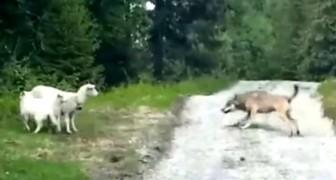 Questa situazione ricorda la favola del lupo e l'agnello, ma il finale è a sorpresa