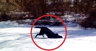 Je lacht je dood als je kijkt wat deze hond doet in de sneeuw. Hilarisch!