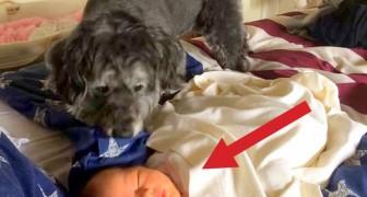 Ein Hund springt auf das Bett, während das Neugeborene schläft: Was er tut, ist einfach unglaublich