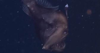 Voilà la PREMIÈRE FOIS que ce poisson est filmé dans les abysses. Spectaculaire!