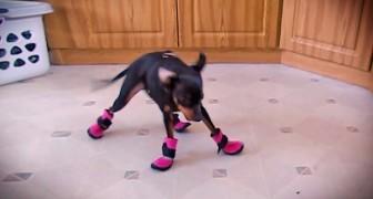 Wir zeigen euch die sonderbare Reaktion von Hunden, die zum ersten Mal Schuhe tragen