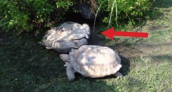 In deze positie is een schildpad vaak ter dood veroordeeld... maar deze keer NIET!