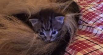 Er bringt vier kleine Waisenkatzen nach Hause, doch er weiß nicht, dass sie von jemandem adoptiert werden