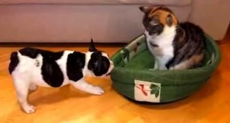 El gato roba la camita del cachorro: su reaccion te hara morir de la risa