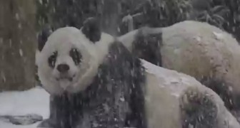 Here's how these pandas enjoy their first snow day. Adorable!