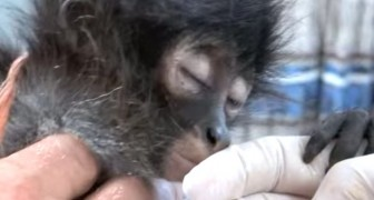 Encontram um macaco ferido: a ecografia revela uma triste realidade