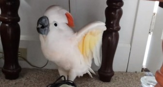 They have to take their parrot to the vet: his reaction makes them die laughing!!