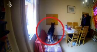 Ponen camaras escondidas en casa: lo que descubren de sus perros es conmovedor