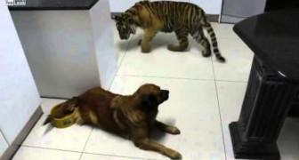 Tiger will aus dem Napf eines Hundes trinken