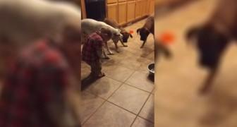 Un niñoo se divierte con 3 perros: lo que hacen es para morir de la risa