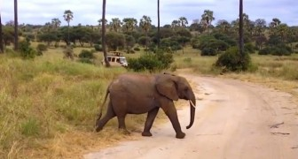 Two elephants are crossing the road, but there is a third little surprise just behind them !