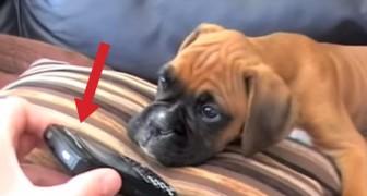 Er stellt die Stimme seiner Frau laut: Die Reaktion des Hundes ist so süß