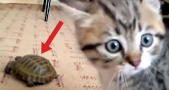 Ein neuer Freund kommt zuhause an... Die Reaktion der Katze ist zum Brüllen