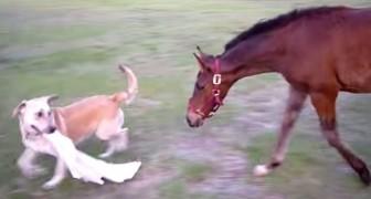 Un perro agarra un trapo, miren la reaccion del caballo...Estupendo!!!