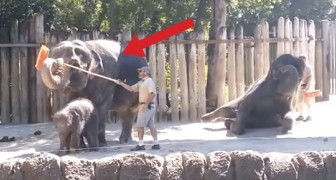 Ciò che fa questo elefante con la scopa dimostra che non dovrebbe essere in uno zoo!