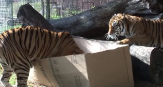Ponen cajas de carton en el recinto de los tigres...La reaccion es una majestuosa!