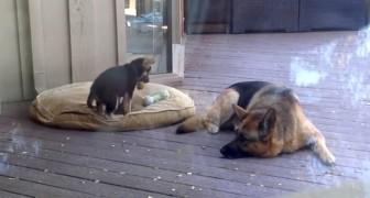 Denna valp vill inte lägga sig: titta på hur mamman reagerar....