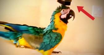 Ella enciende la aspiradora...la reaccion del papagallo es verdaderamente muy divertido!