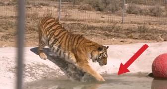 Dois tigres são salvos e tocam a água pela primeira vez!