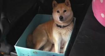 Questo cane ama viaggiare in una scatola: il padrone gli prepara uno scherzo GENIALE