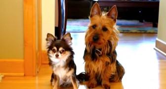 Matte frågar vem av de två hundarna som utfört sitt behov i köket. Hur en av dem hanterar situationen är lysande!