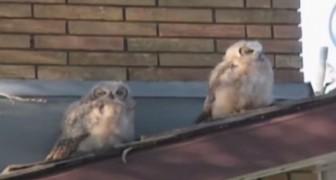 Dos buhos descansan sobre el techo, pero uno de ellos tiene en mente un plan DIABOLICO!