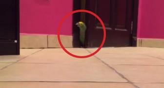 Un pappagallo si introduce nella stanza: ascoltatelo e provate a non ridere!