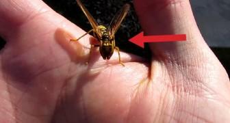 Op het eerste gezicht lijkt het een wesp, maar als je beter kijkt zul je versteld staan!